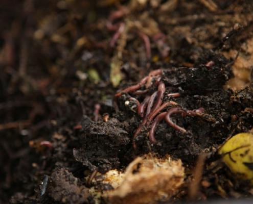 Minhocas na Composteira Humi (Morada da Floresta)