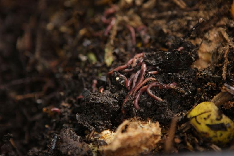 Quanto mais minhocas, mais rápido acontece a compostagem