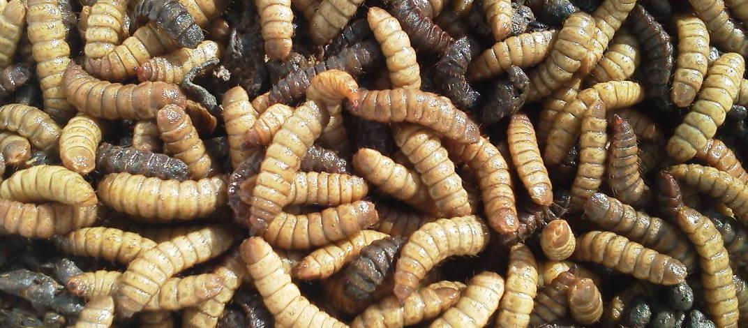Larvas de mosca soldado
